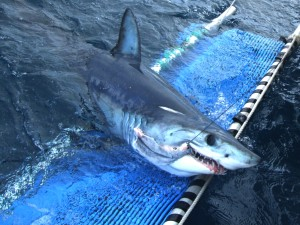 Zura the Mako Shark